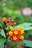 Cluster blooming. Ropical flower cluster blooming in vibrant colors Stock Photo