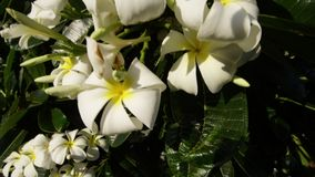 A cluster of blooming flowers from a plumeria tree. A daylight extreme closeup shot of a leafy plumeria tree focusing on its delicate white flowers with a stock video footage