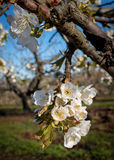 Cluster of blossoms on the end of a cherry tree limb Stock Photo