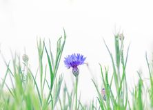 Blue flowers, green branches, blue on white background stock photography