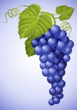 Cluster of blue grape with green leaf Stock Photography