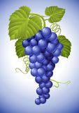 Cluster of blue grape with green leaves Stock Image