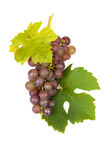 Cluster of blue grapes Stock Image