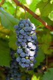 Cluster blue grapes Stock Images