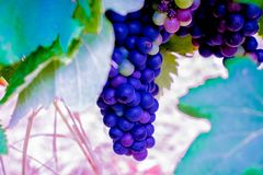 A cluster of blue grapes under the leaves . royalty free stock photo