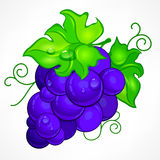 Cluster blue grapes on white. Cluster blue grapes with green leaf and drop water on white,  illustration Stock Photography