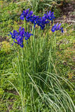 Cluster of blue iris flowers Royalty Free Stock Images