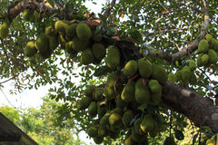 Cluster of breadfruits on the tree Royalty Free Stock Images