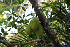 Cluster of breadfruits on the tree Stock Photos