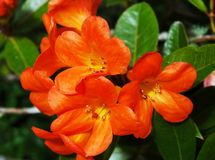 A cluster of bright orange flowers streaked with yellow. A cluster of bright orange flowers. Each has five petals, with red pistil and golden stamin. The heart Stock Photos