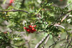 Cluster of Bright Red Mountain Ash Berries Royalty Free Stock Photography