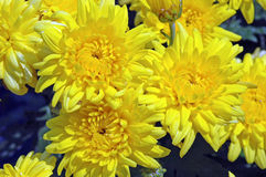 Cluster of Bright Yellow Chrysanthemum Flowers. Closeup of a cluster of vibrant yellow Chrysanthemum 'Morden Canary' flowers Stock Image