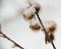 Cluster Of Burrs Surviving The Winter Stock Photo