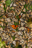 Cluster of Butterflies. Vertical Composition of Large Cluster of Migrating Monarch Butterflies on Juniper Tree Branch Royalty Free Stock Photos