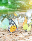 Cluster of butterflies on the ground, Kaeng Krachan National Park, Thailand. Stock Images