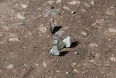 Cluster butterflies on the texture sand stock images