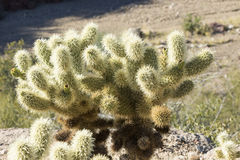 Cluster of cactus. In the Arizona desert Royalty Free Stock Image