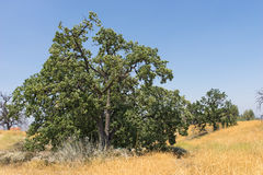 Cluster of California Oak Trees Royalty Free Stock Photo