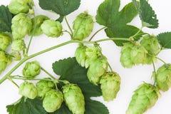 Cluster of Cascade Hops on Vine Stock Image