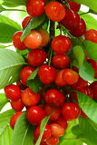 Cluster of cherries. On a tree in a garden Stock Photos