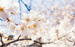 Cluster of Cherry Blossom Royalty Free Stock Photo