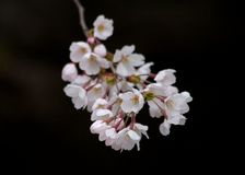 Cluster of cherry blossoms Royalty Free Stock Images