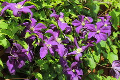 A cluster of the climbing plant  Clematis Royalty Free Stock Photos