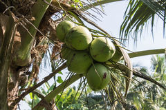 Cluster of coconut Royalty Free Stock Photos