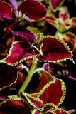 Cluster of Coleus Leaves Royalty Free Stock Photos