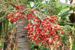 Cluster` Corozos ` fruit van de palm Royalty-vrije Stock Foto