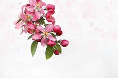 Cluster of Crab Apple Blossoms Royalty Free Stock Photos