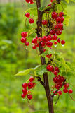 Cluster Of Currants Stock Photography