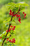Cluster Of Currants Royalty Free Stock Photos