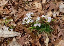 Cluster of dainty white and pink spring beauty flowers emerging from the forest floor. A cluster of dainty white and pink spring beauty Claytonia virginica stock image