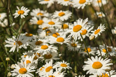 Cluster of daisy flowers Stock Image
