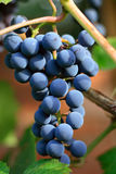 Cluster of a dark blue grapes. On branch a sunny day Royalty Free Stock Image