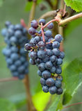Cluster of dark blue grapes. Against foliage Stock Image