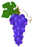 Cluster of dark blue grapes. Stock Photos