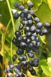 Cluster of dark grapes Stock Images