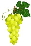 Cluster of dark green grapes. Isolated on white. Vector illustration Stock Image