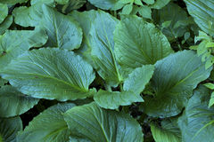 Cluster of dark green skunk cabbage leaves, Chatfield Hollow, Co Royalty Free Stock Image