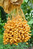 Cluster of dates Royalty Free Stock Images