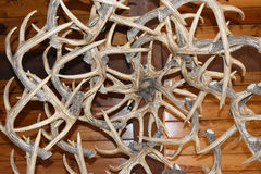 Cluster of Deer Antlers. Deer antlers clustered for an indoor decoration royalty free stock photography