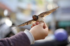 Give a swallow back to freedom Royalty Free Stock Images