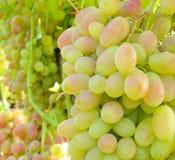 Cluster of desert grape Stock Image