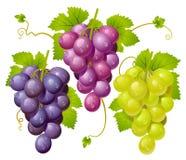Cluster drie van druiven Stock Fotografie