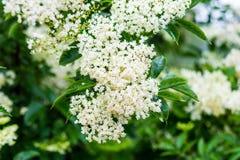 Cluster of elder flowers Sambucus nigra royalty free stock photo