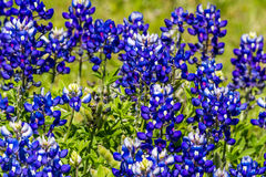 Cluster of the Famous Texas Bluebonnet Wildflowers. Stock Images
