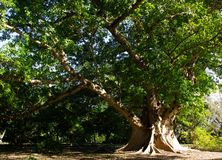 Cluster fig tree. A branching cluster fig tree in Miami, Florida royalty free stock photo