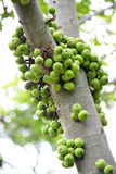 Cluster Fig on tree Ficus racemosa Linn. Cluster Fig contain nutrients that are beneficial to the body such as calcium, phosphorus, and has many medicinal Royalty Free Stock Photo